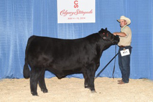 Calgary Stampede - 3rd in Angus Class